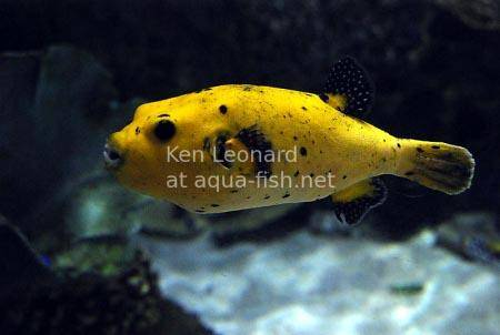 Golden Puffer, picture no. 7