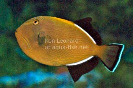 Indian Triggerfish, picture no. 1