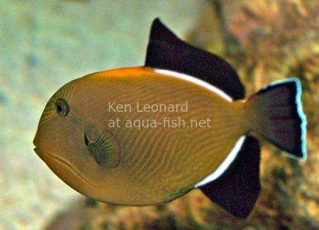 Indian Triggerfish, picture no. 2