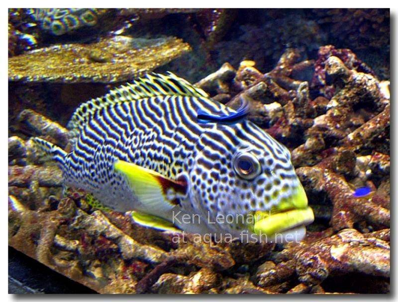 Indian ocean oriental sweetlips for Sweet lips fish