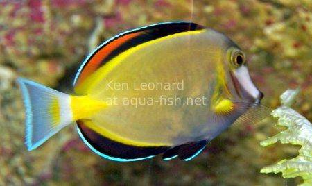 Japan Surgeonfish, picture no. 1