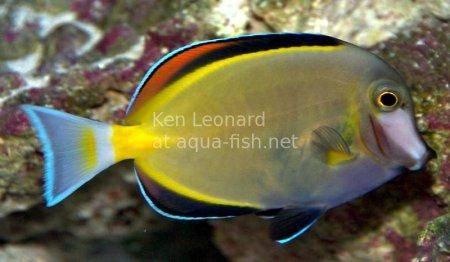 Japan Surgeonfish, picture no. 2