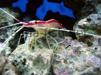 Cleaner Shrimp picture