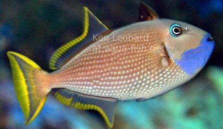 Gilded Triggerfish, picture 2