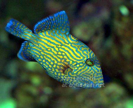 Yellow-spotted Triggerfish, picture 1