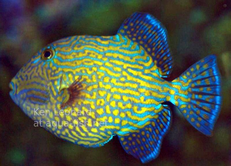 yellow spotted triggerfish